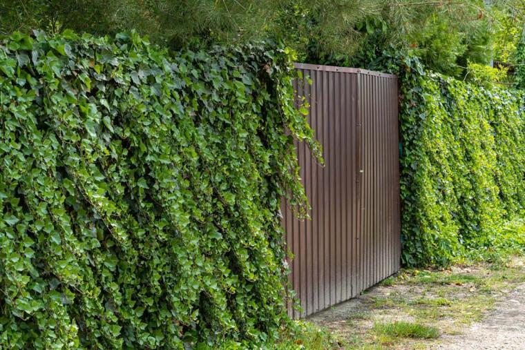 Mengenal 6 Tanaman untuk Pagar Rumah Anda